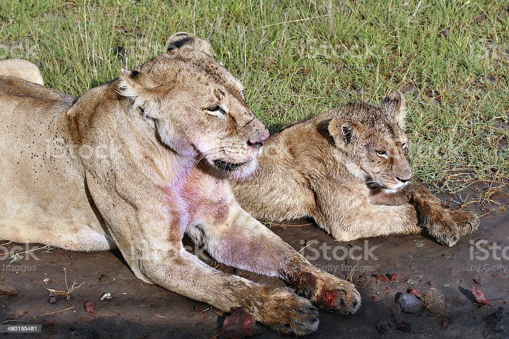 Mother lioness and her lion cub, resting after a meal. stock photo