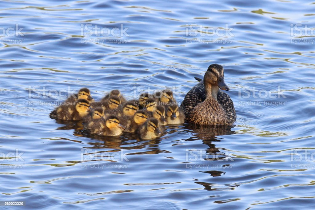 Mother Mallard and Her Ducklings royalty-free stock photo
