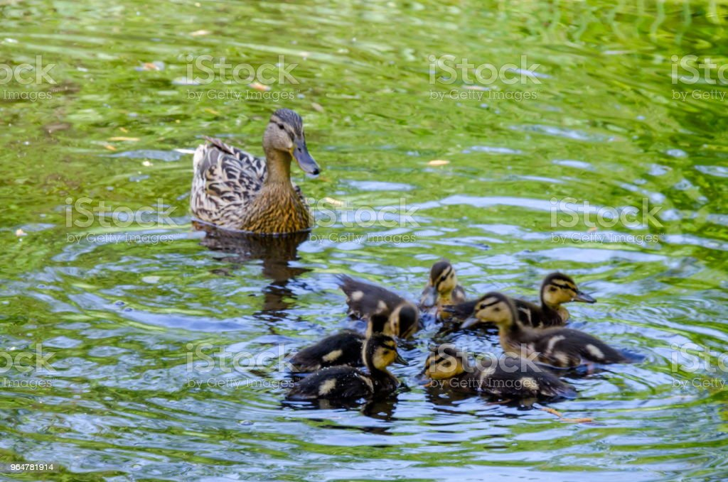 A mother mallard duck with her ducklings swimming in the lake, South park royalty-free stock photo