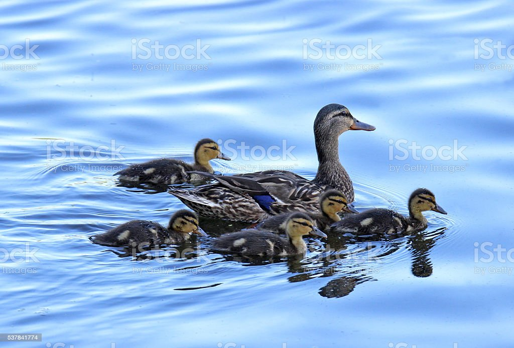 Mother Mallard with Ducklings stock photo