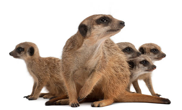 mother meerkat with four babies on white backdrop - meerkat stock photos and pictures