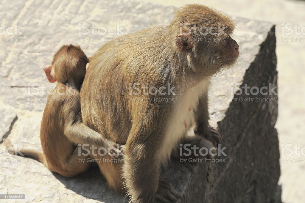 Mother monkey and little son-macacus rhesus-Pashupatinath temple-Deopatan-Kathmand-Nepal. 0286 stock photo
