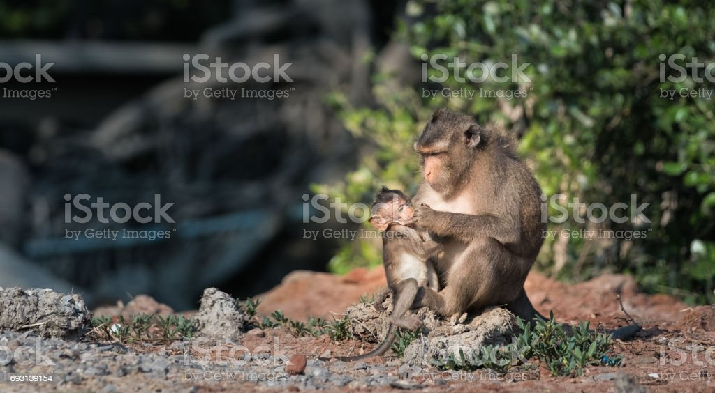 mother monkey stock photo