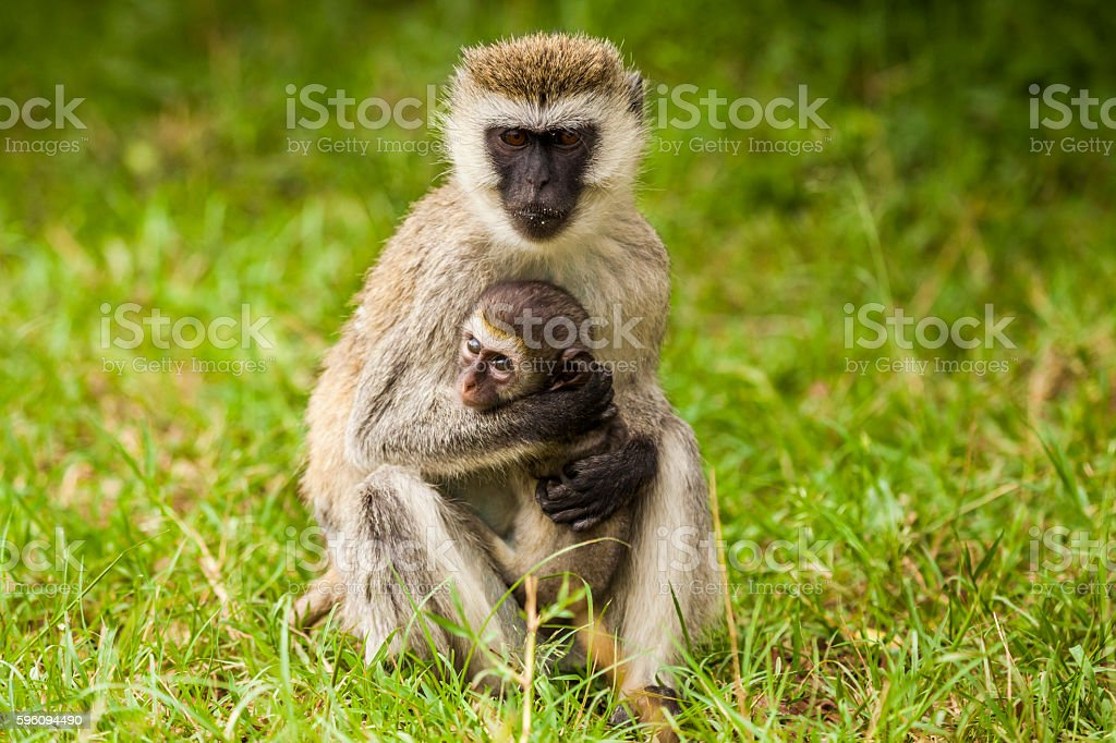 Mother monkey with her cubs. Kenya National Park. Africa. royalty-free stock photo