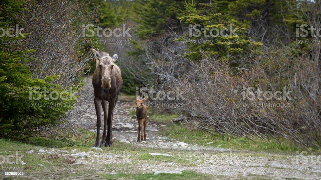 Madre alces y pantorrillas caminando por sendero en el bosque - foto de stock