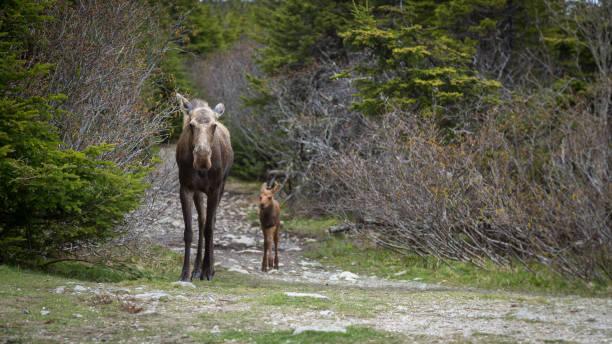 Mère orignal et veau marchant dans le sentier en forêt - Photo