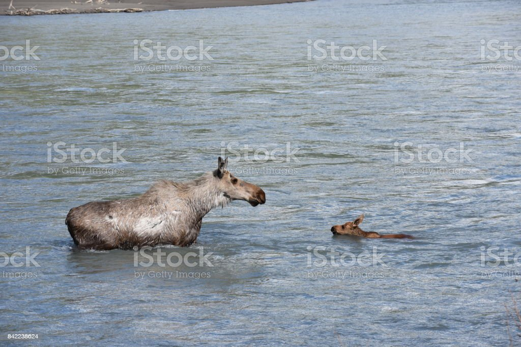 A Mother Moose and her Calf In an Alaskan River stock photo