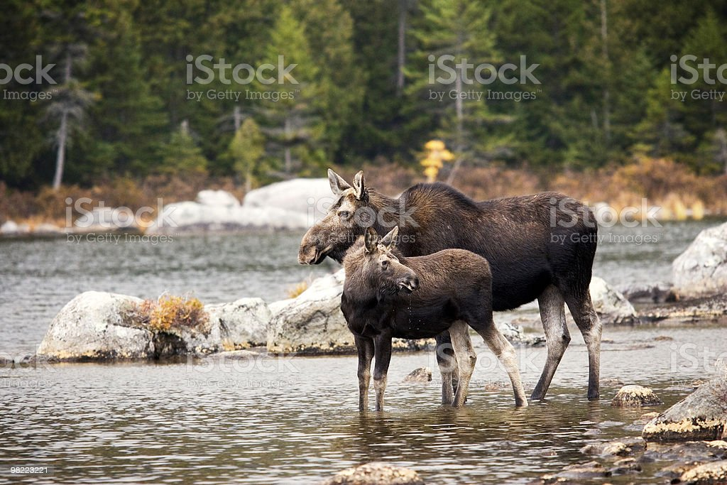 Mother moose and yearling calf royalty-free stock photo