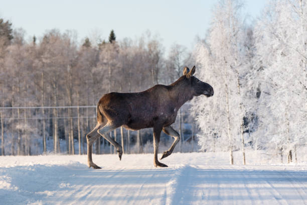 mother moose crossing a winter road in sweden - moose stock pictures, royalty-free photos & images