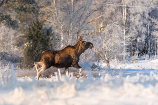 mother moose in winter land, - älg sverige bildbanksfoton och bilder