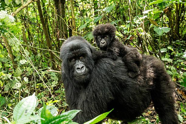 madre con bebé gorila de montaña - gorila fotografías e imágenes de stock