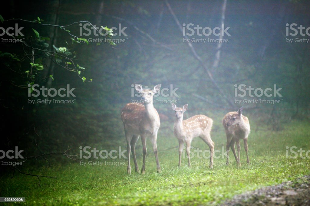 Mother of sika deer stock photo