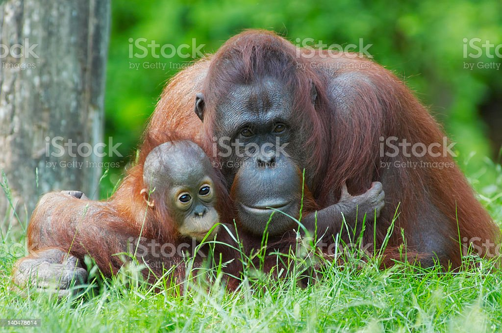mother orangutan with her baby royalty-free stock photo