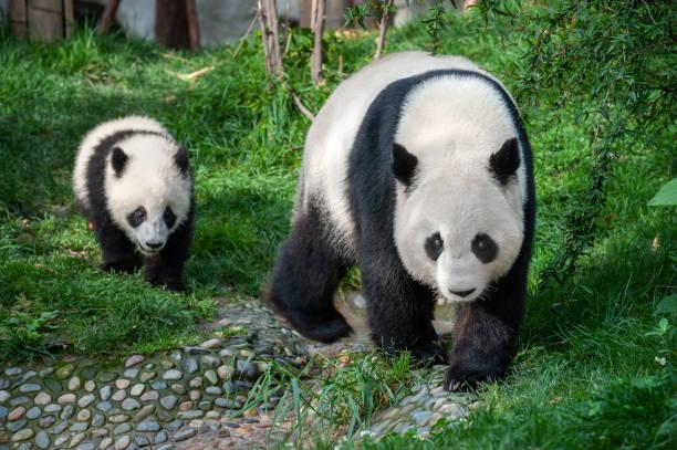 panda de mère marchant avec l'ourson de panda - panda photos et images de collection