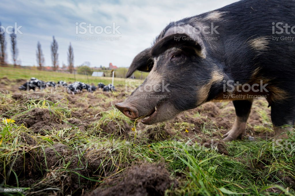 Mother Pig Watching Over Her Litter of Piglets. stock photo