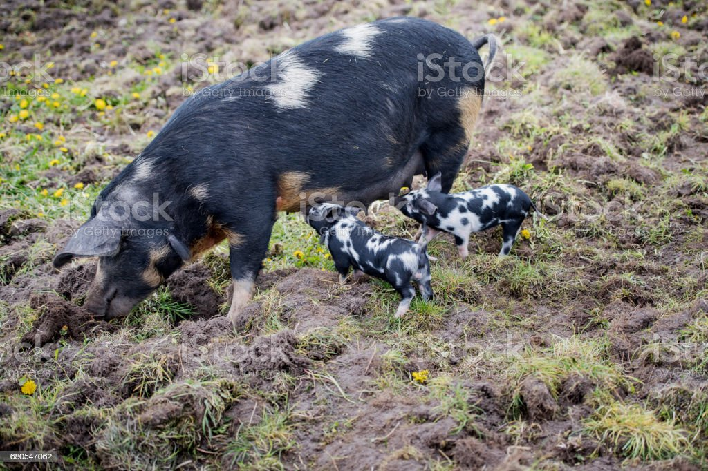 Mother Pig With Two Suckling Piglets. stock photo
