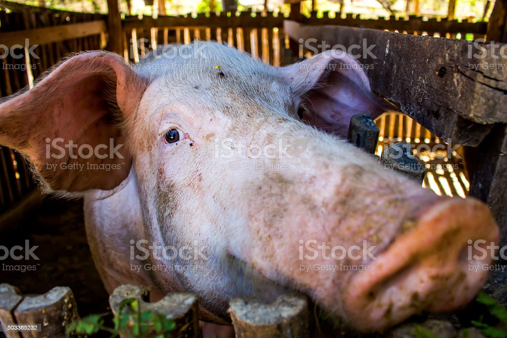 Mother pigs on farms. stock photo