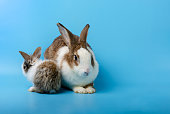 Adorable mother and baby rabbit   portraiton blue background. Pet animal family concept.