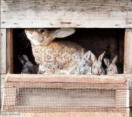 istock Mother rabbit with newborn bunnies 518042865