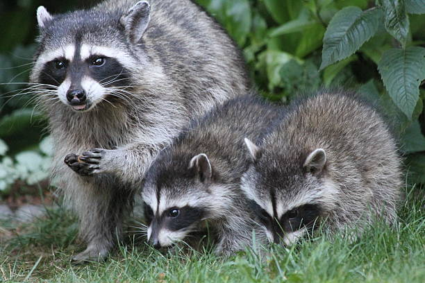 Mother Raccoon and kits stock photo