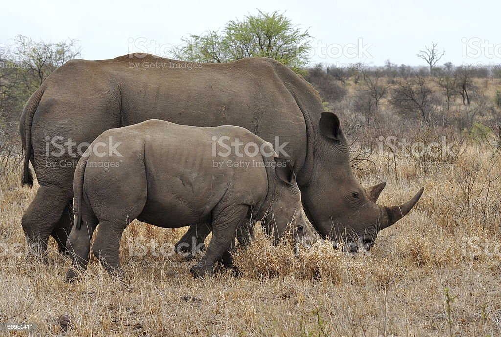 mother rhino with calf royalty-free stock photo
