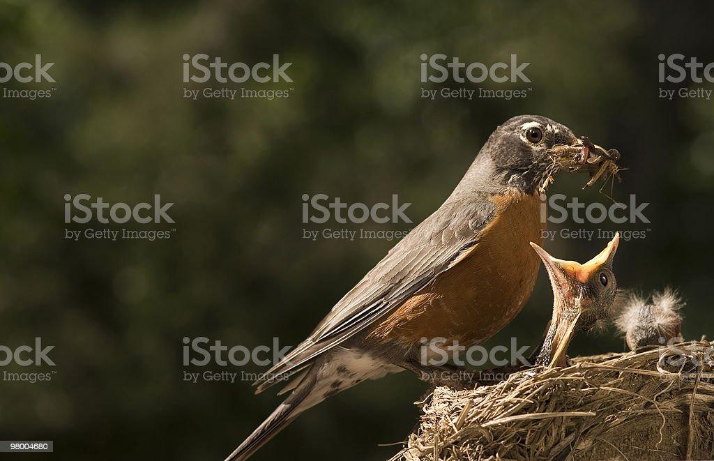 Mother Robin Feeding Baby stock photo