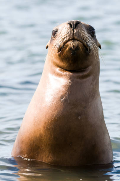 Mother  sea lion, Mother  sea lion, Patagonia Argentina south american sea lion stock pictures, royalty-free photos & images