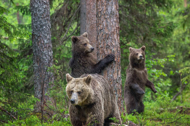 Mother She-Bear and cubs in the summer pine forest. Family of Brown Bears stock photo