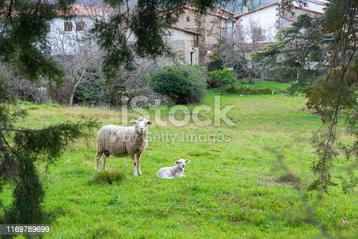 Mother sheep with baby lamb in a field in Spring