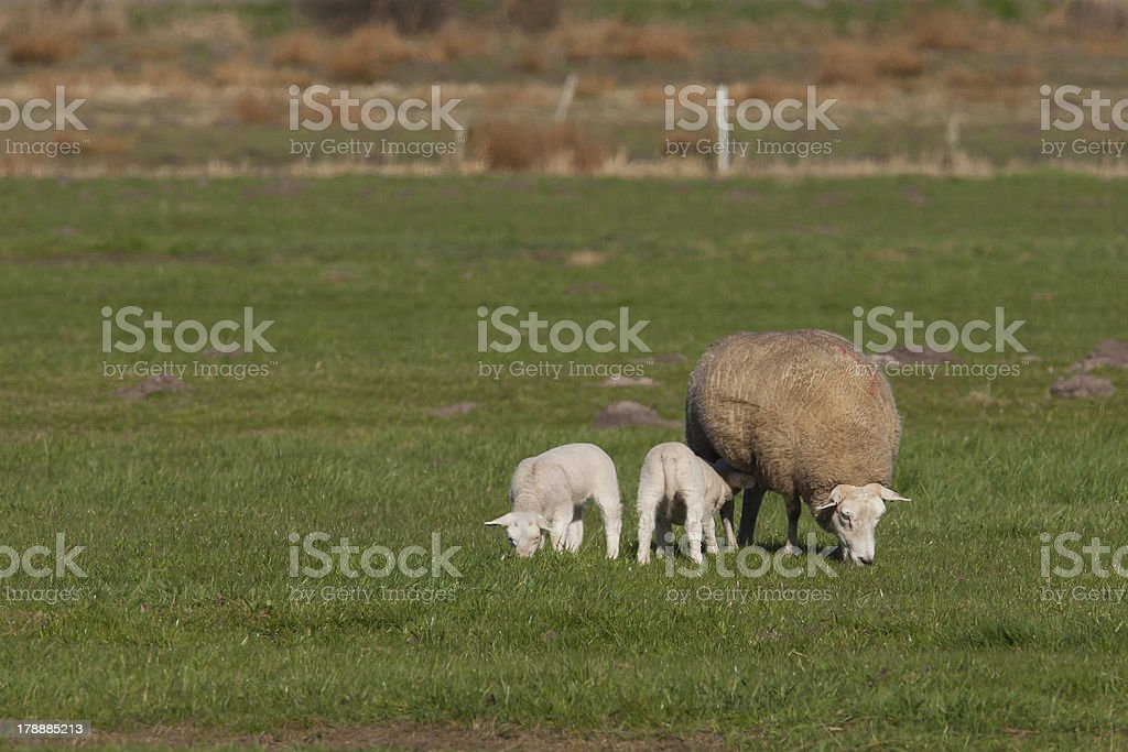 Mother sheep with two lambs in a meadow royalty-free stock photo