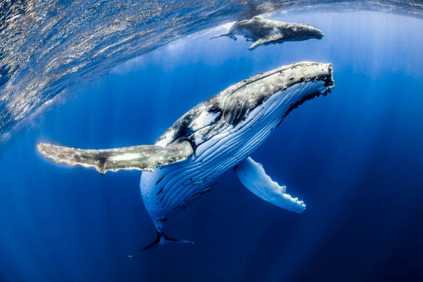 Mother Song Humpback mother and calf, with a snorkeler, in Tonga. animal family stock pictures, royalty-free photos & images