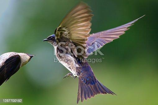 Mother swallow feeding fledgling.  Photo taken at Marymoor Park, Washington