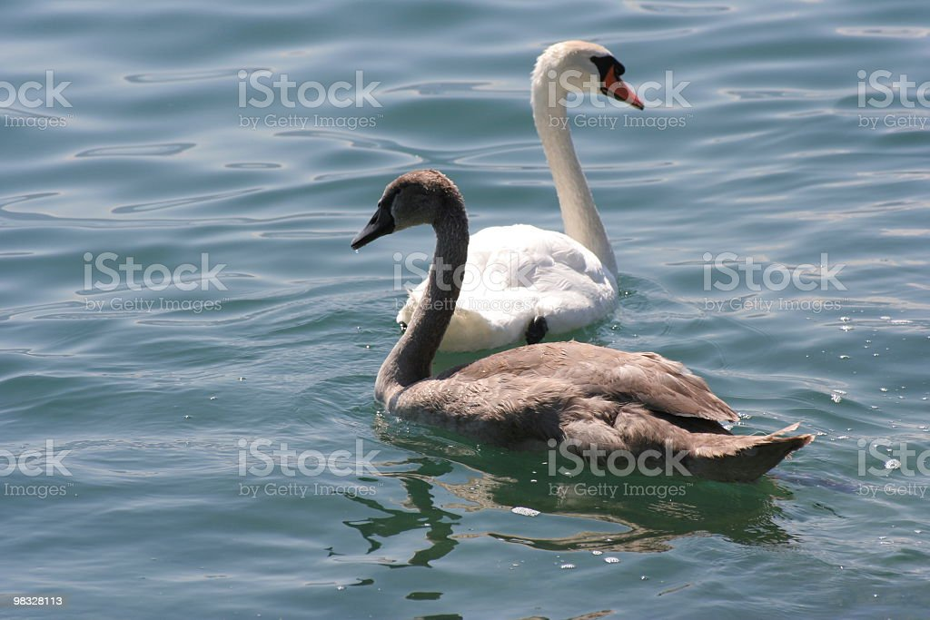Mother swan and baby swimming on lake royalty-free stock photo