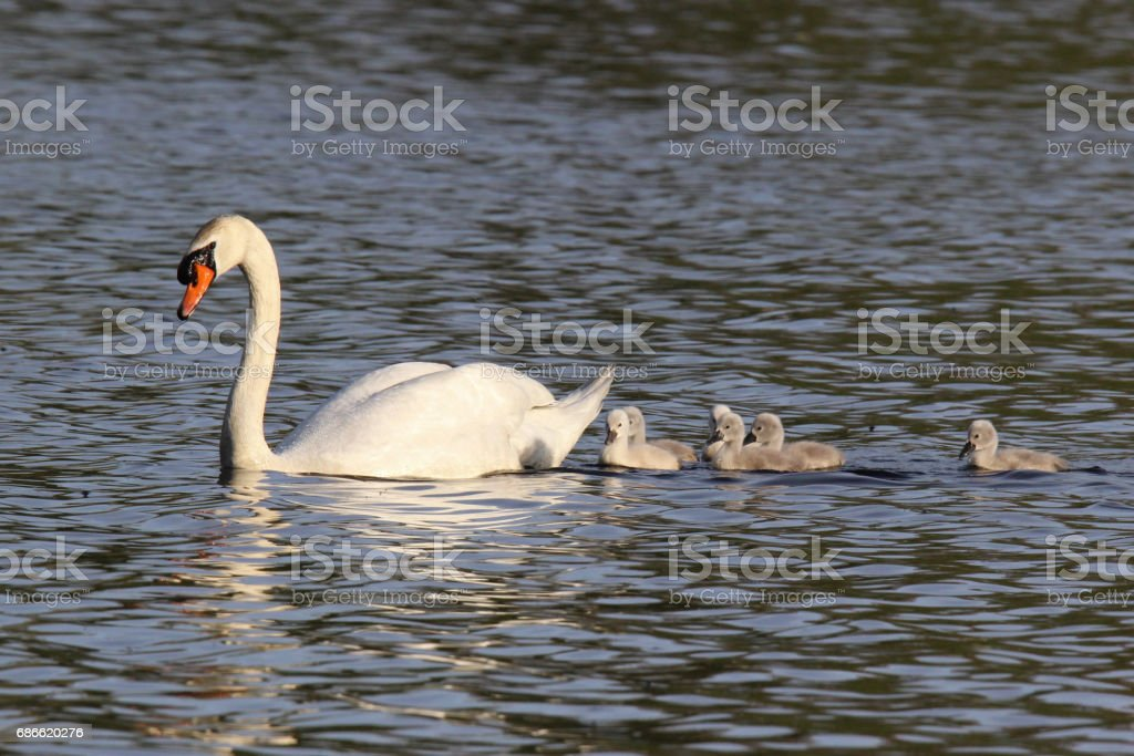 Mother Swan and Six Cygnets royalty-free stock photo