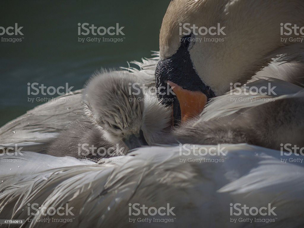 Mother Swan stock photo