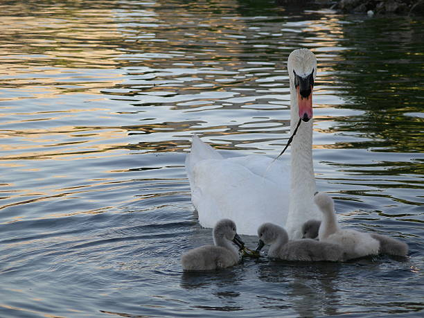Mother Swan with little ones stock photo