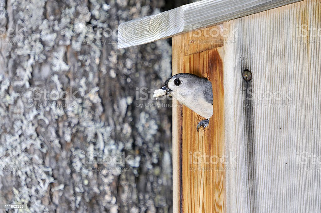 Mother Titmouse with Meal stock photo