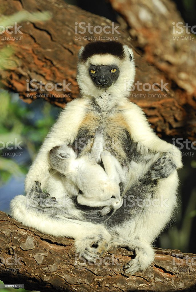 Mother Verreaux's Sifaka suckling her baby in Madagascar stock photo