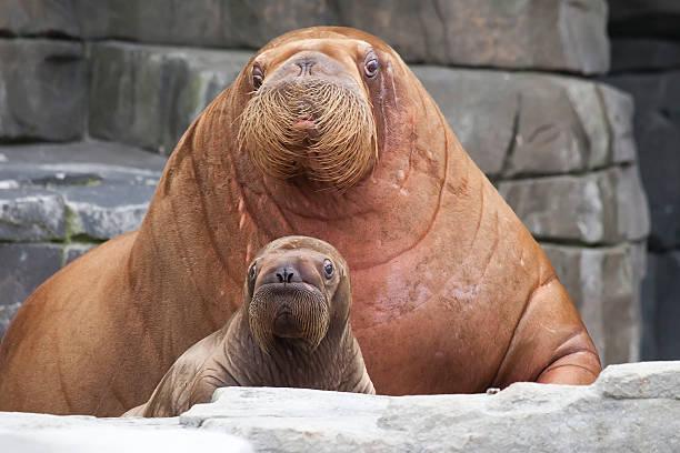 Mère avec bébé Morse - Photo