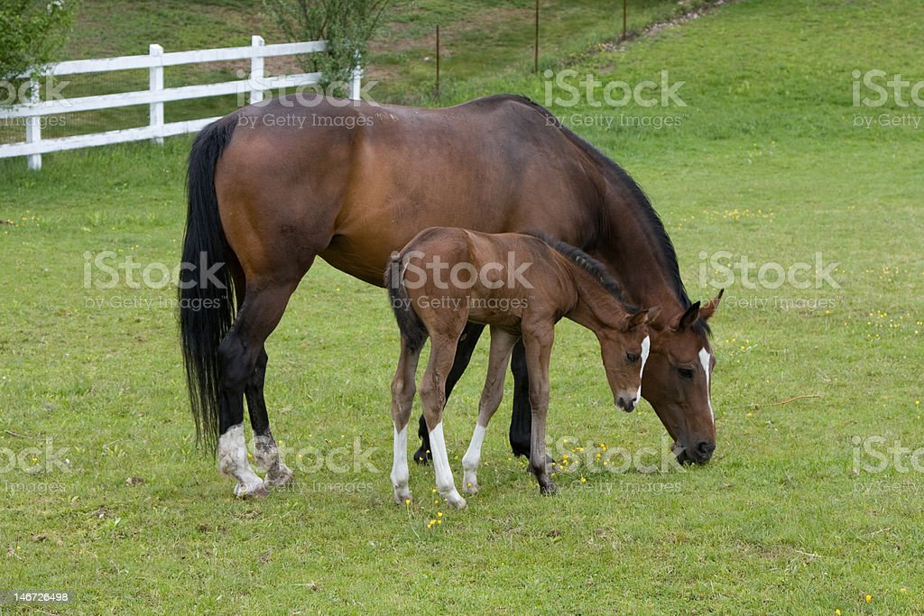 Mother with Newborn Foal stock photo