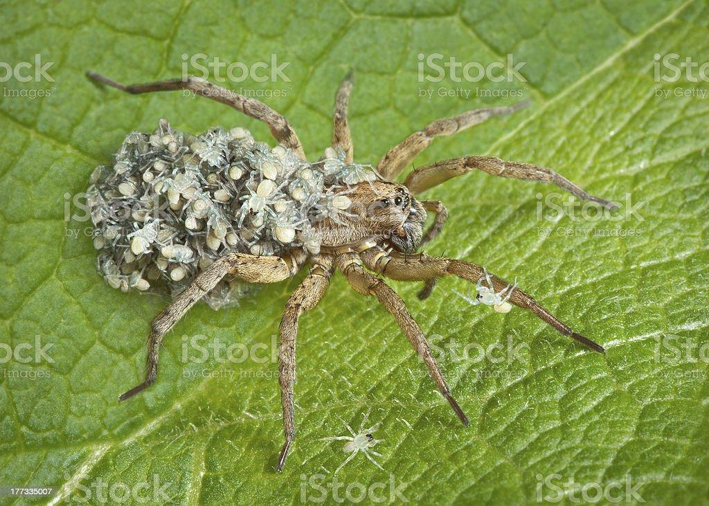 Mãe com os bebês Aranha Armadeira - foto de acervo