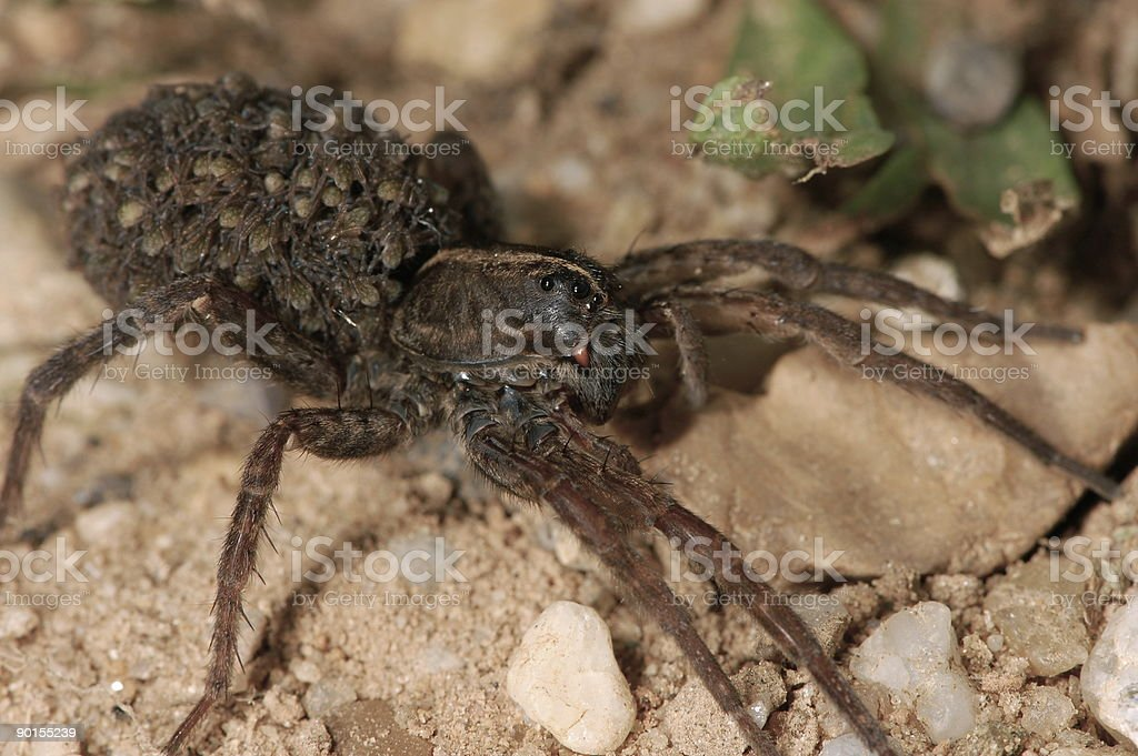 Mother Wolf Spider with Babies royalty-free stock photo