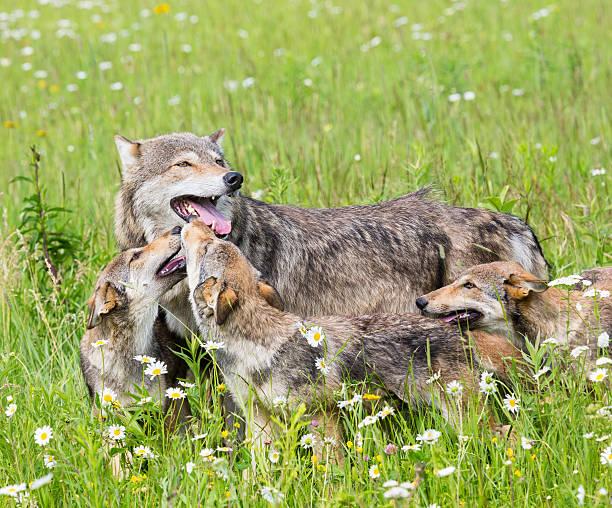 mother wolf with three cubs on grassy meadow - gråvarg bildbanksfoton och bilder