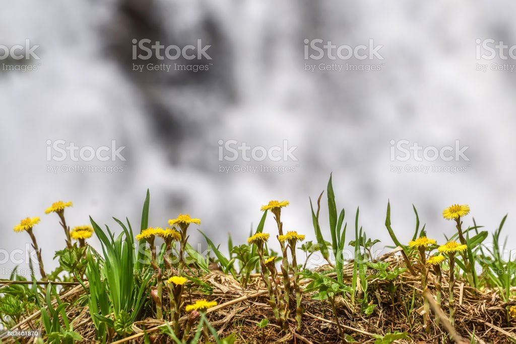 mother-and-stepmother yellow flowers waterfall spring royalty-free stock photo