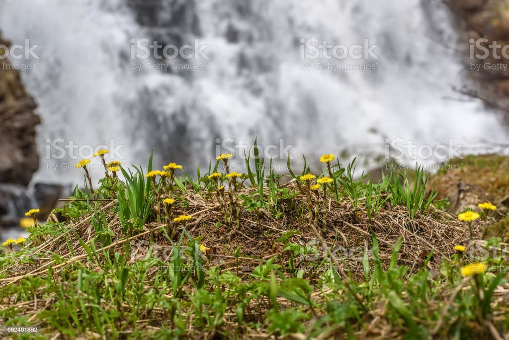 mother-and-stepmother yellow flowers waterfall spring 免版稅 stock photo