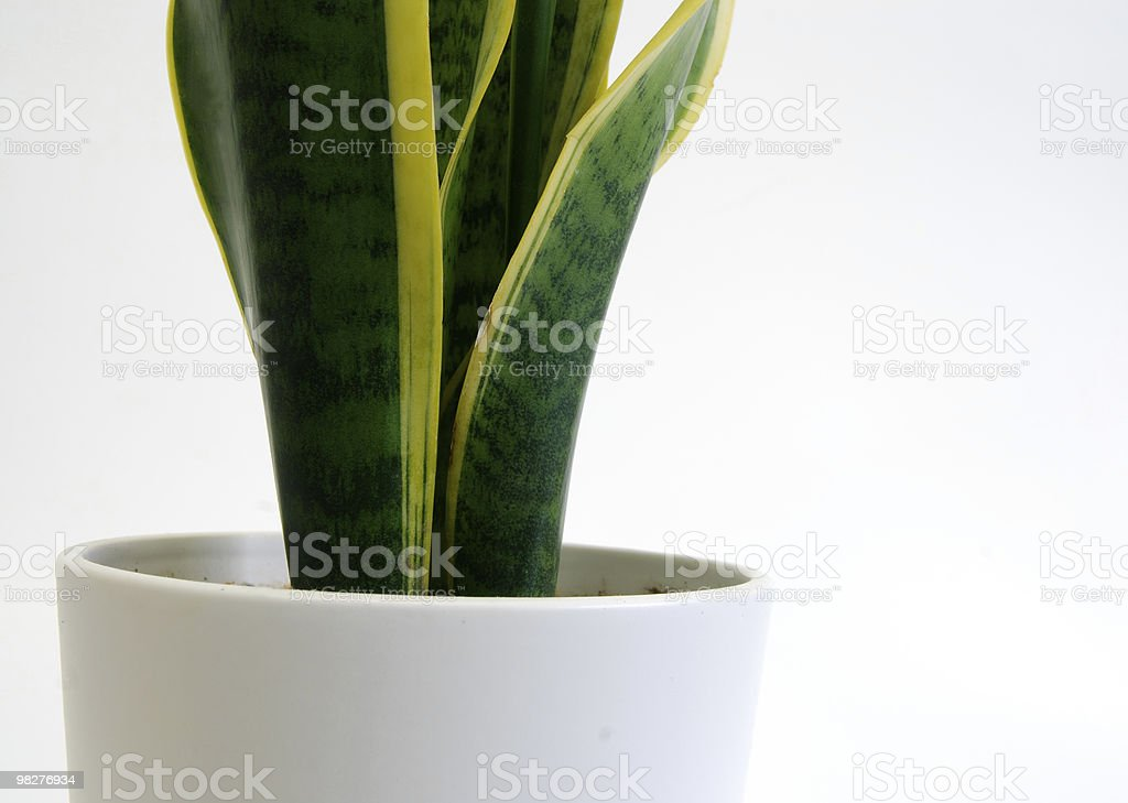 mother-in-law's tongue with white flowerpot royalty-free stock photo