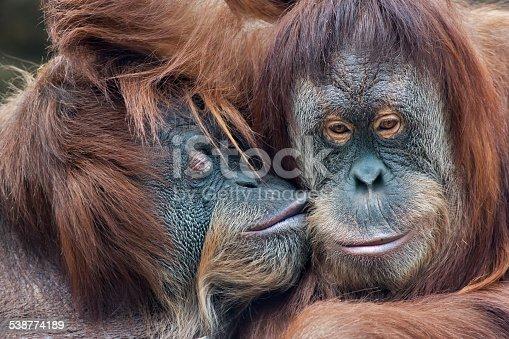 Wild tenderness among orangutan. Mother's kissing her adult daughter.