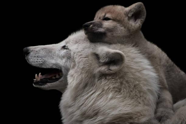 mors kärlek mellan arktisk varg och söt kvinnlig valp isolerad på svart bakgrund (canis lupus arctos) - gråvarg bildbanksfoton och bilder