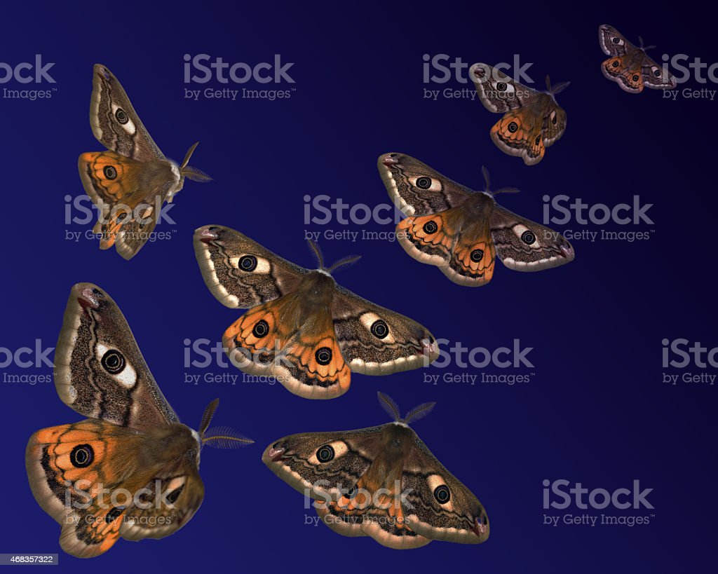 Moths (Saturnia pavoniella) flying in the night royalty-free stock photo