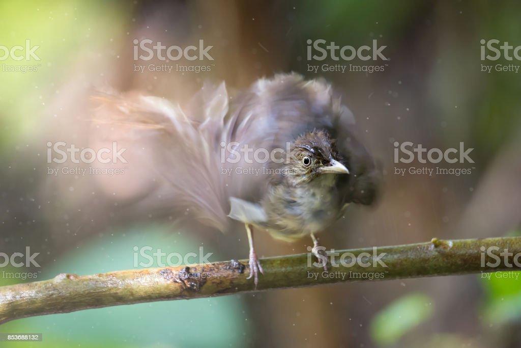 Motion blur Bulbul bird drying its wings after rain bathing stock photo